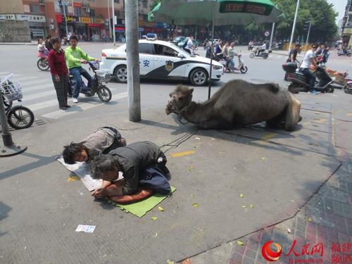 福州街头惊现骆驼乞讨行乞者衣衫褴褛骆驼四肢有损伤【2】