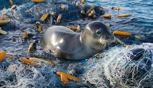 海洋垃圾影响生态系统:废弃渔网困住海龟