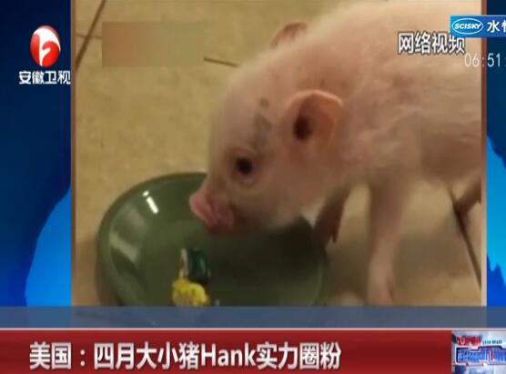 小猪Hank成网红社会
