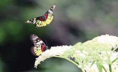 美丽东坪山上蝴蝶翩翩起舞