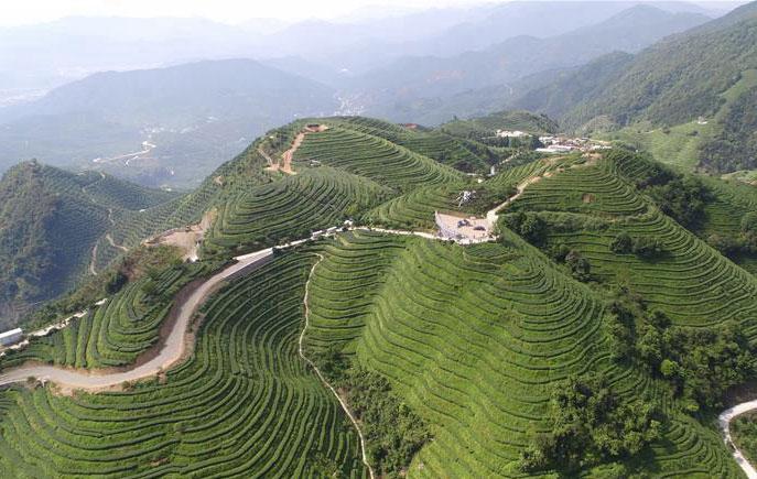 福建漳州:生态有机茶带动茶产业发展