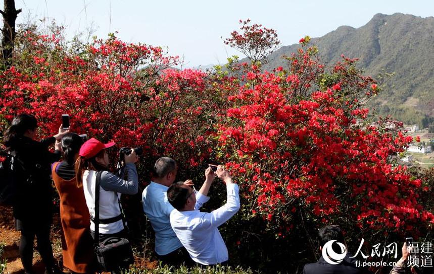 漳州华安:10公里野杜鹃花姹紫嫣红