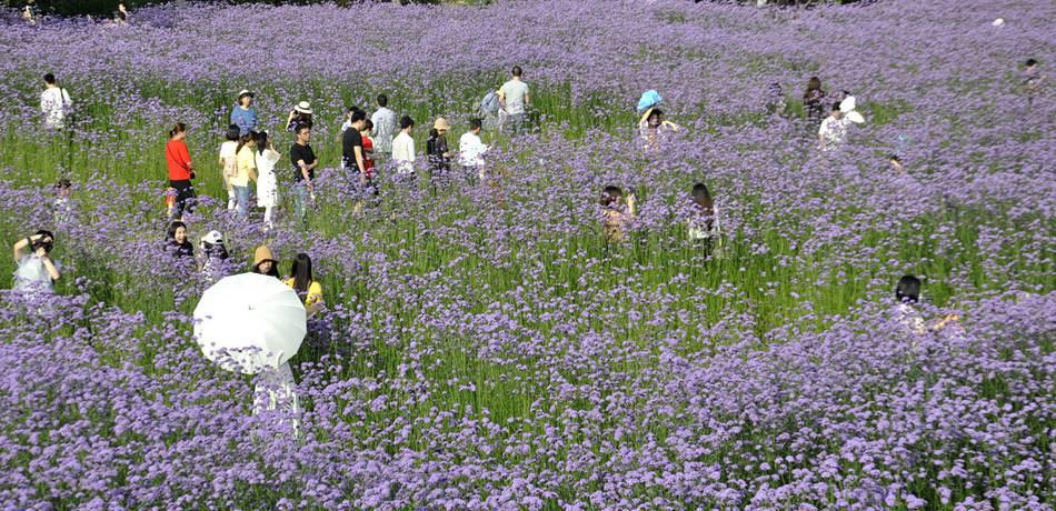 """福州紫色花海再现""""琼花玉岛""""景象这片柳叶马鞭草观赏区面积约8000平方米,盛花期维持两个半到三个月,游客徜徉花田小路,有一种如诗如画、美不胜收的舒适体验。[阅读]"""