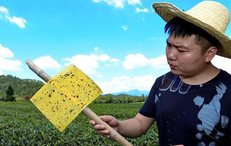 LED杀虫灯+粘虫色板 武夷山推广绿色防治茶园病虫害技术