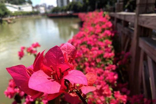 """泉州德化:河岸系上""""红腰带"""""""