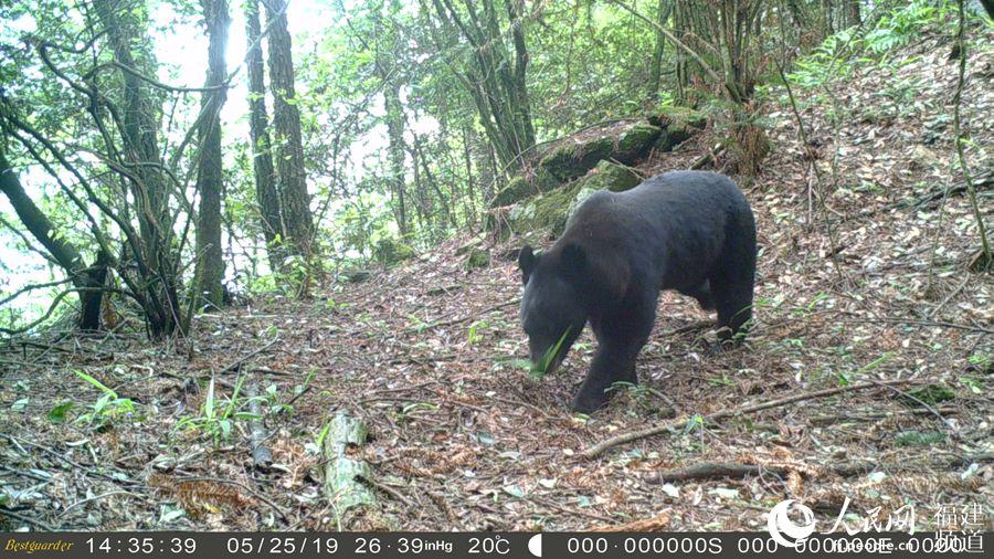 黑熊、猕猴出镜 珍稀野生动物现身福建将乐龙栖山自然保护区