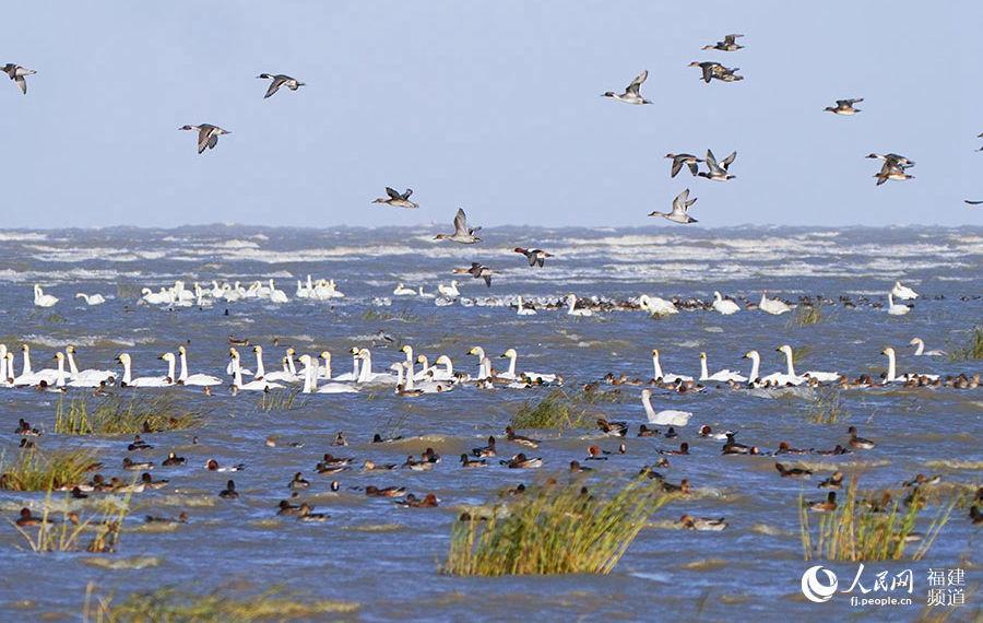 越冬珍稀候鸟飞抵闽江河口湿地 福州迎来最佳观鸟季